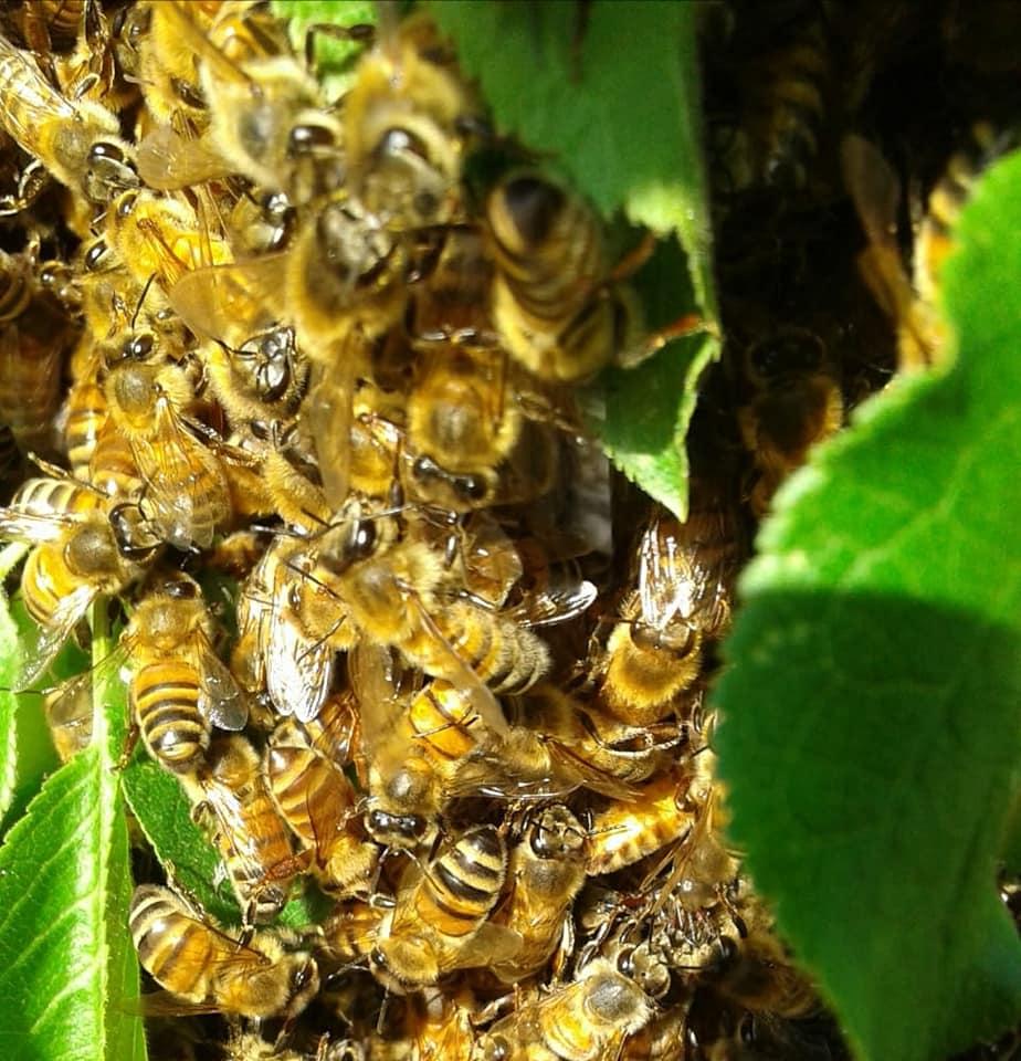 api sciame